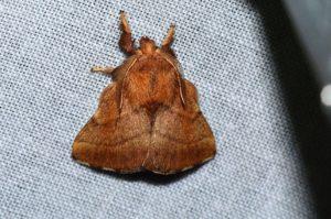 forest-tent-caterpillar-moth