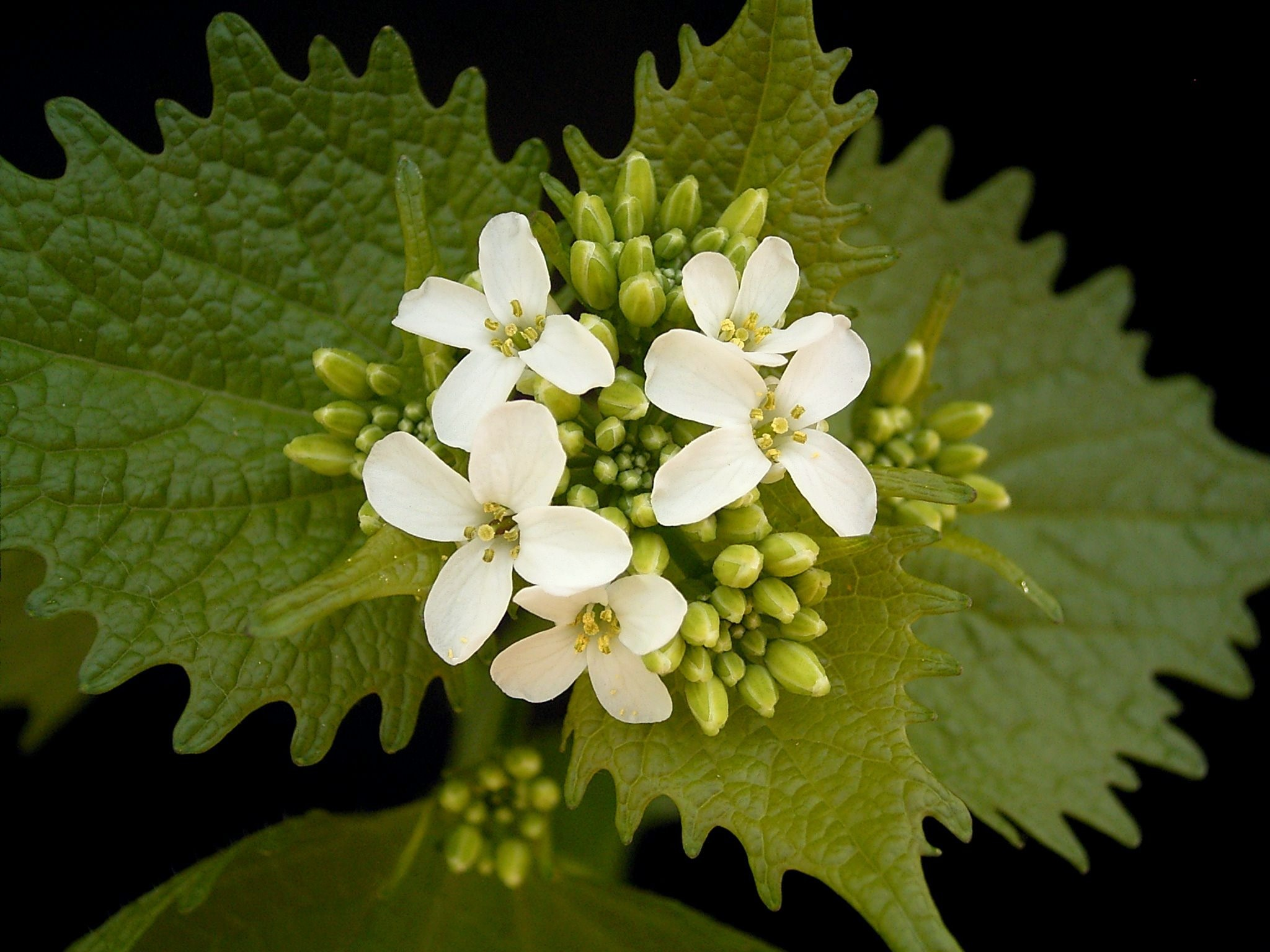 Garlic mustard (Alliaria_petiolata)